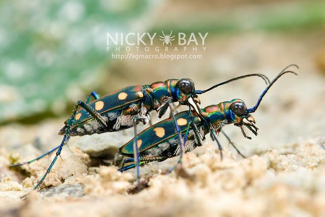 Tiger Beetle (Cicindelinae) - DSC_7073