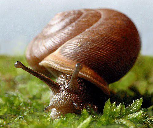 external image SnailMesodonClausus01.jpg