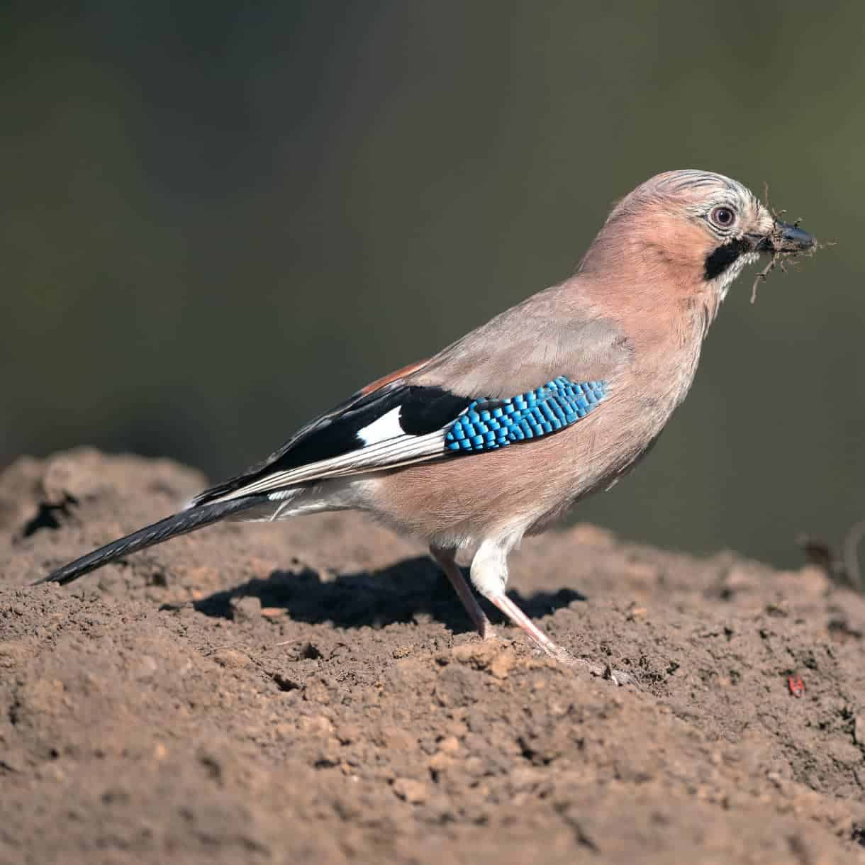 All About The Jay Gardenbird