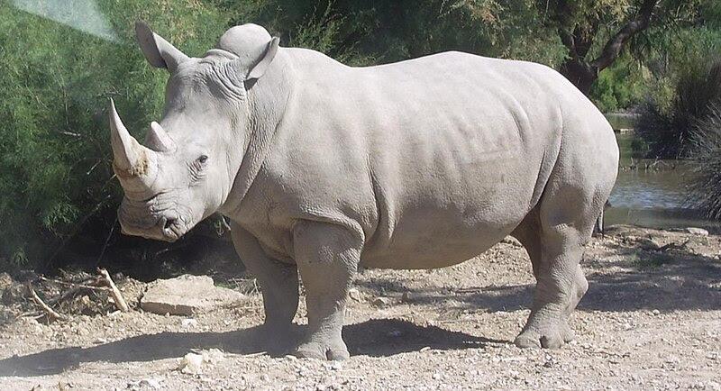 File:Rhinocéros blanc JHE.jpg