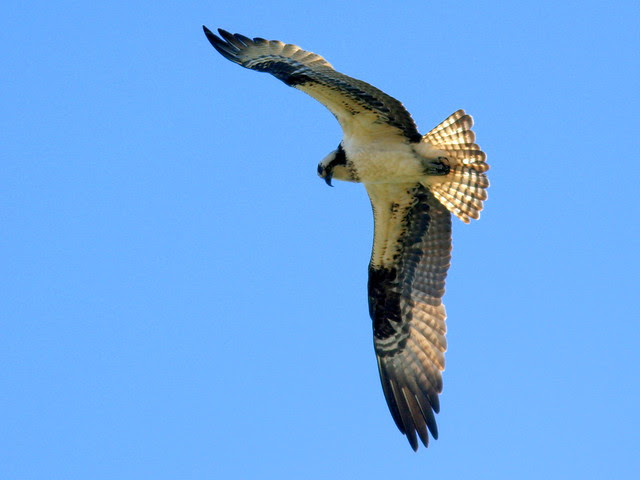 Osprey 2-20100228