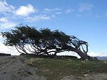http://upload.wikimedia.org/wikipedia/commons/thumb/7/73/Windswept_tree_-_Ushuaia.jpg/220px-Windswept_tree_-_Ushuaia.jpg