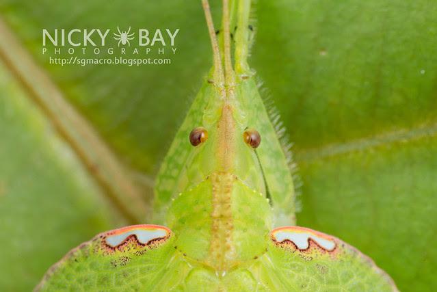 Leaf-Mimic Katydid (Chondroderella borneensis) - DSC_1625