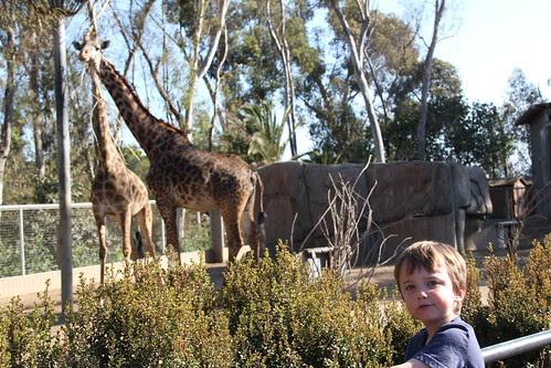 Olsen and giraffes