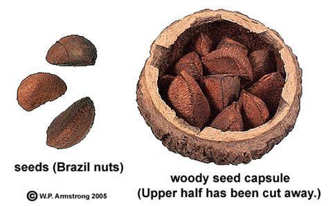 Brazil Nut, Paradise Nut & Cashew