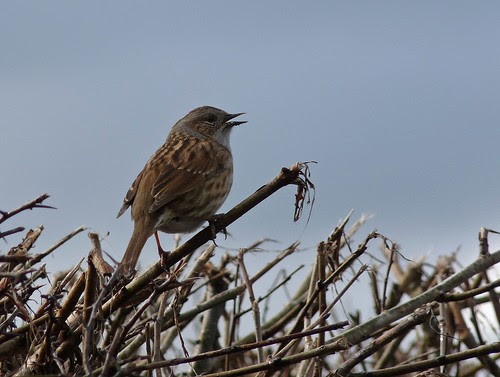 12014 - Dunnock at Pencarreg Lake