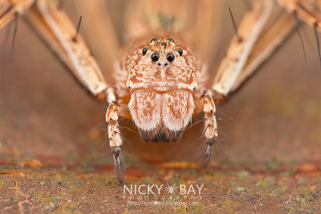 Lynx Spider (Oxyopidae) - DSC_1994
