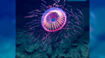 VIDEO: This jellyfish that emits light like a floating firework will leave you awestruck