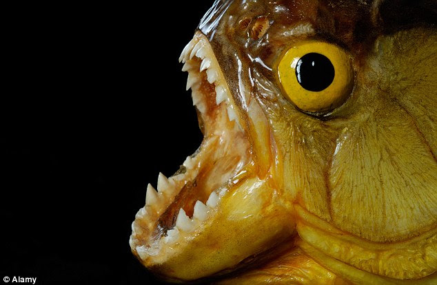 Piranha fish are known for their sharp teeth and large appetite for meat. Hundreds of attacks are reported every year, with experts and biologists often warning swimmers not to go into unknown waters