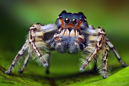 Adult Male Phidippus putnami Jumping Spider