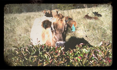 Friendly Cow.jpg