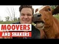 Movers and Shakers | Cute Cows Compilation Animalier