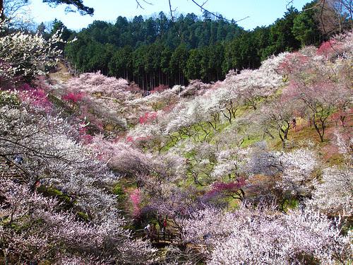 梅の公園散策 (Yoshino plum grove in Ome)