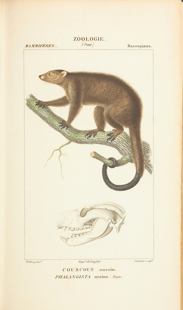 Cuscus species climbing on tree branch