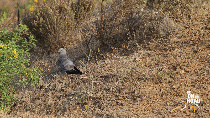 Male Montagu's Harrier getting ready to roost at Maidenahalli