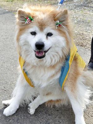 O cão Pusuke em 24 de dezembro de 2010 em Sakura (Foto: Reuters)