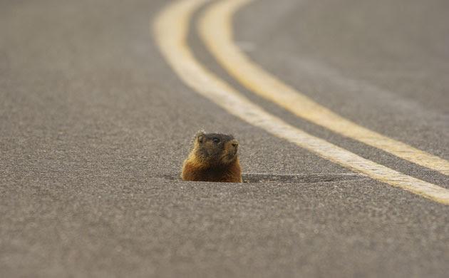 Week in Wildlife: Yellow-bellied marmot, Montana, America - Mar 2010