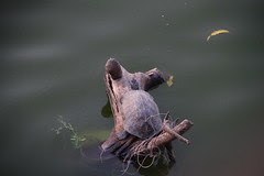 this turtle has  fallen in love with his own shadow by firoze shakir photographerno1