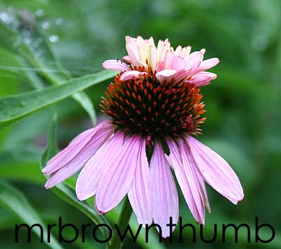 Echinacea 'Double Decker' purple coneflower