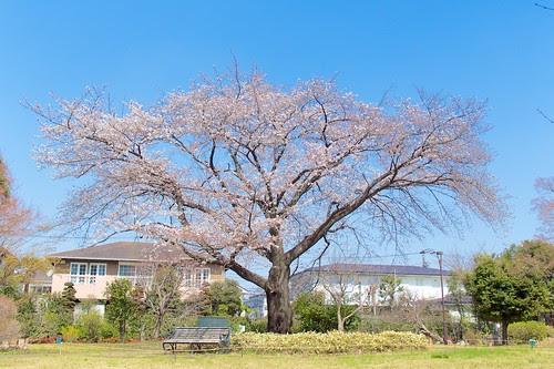 すみれば自然庭園の桜