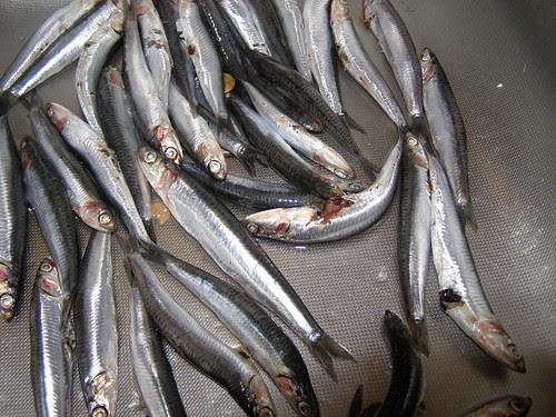 gavros mediterranean anchovy