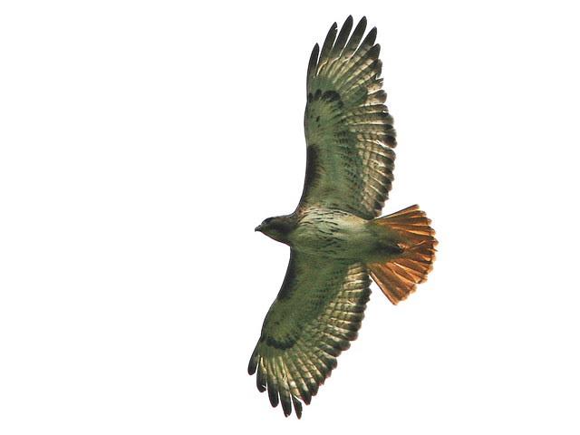 Red-tailed Hawk DPP 20100510