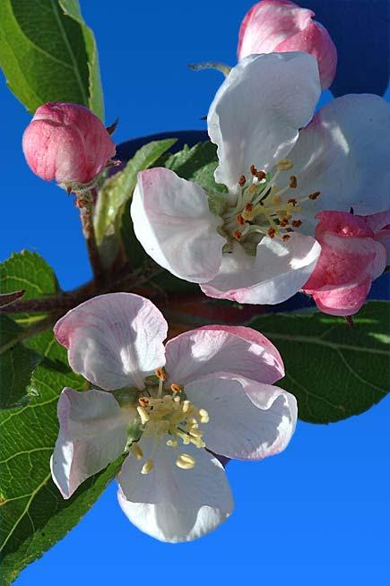fiori dei melo