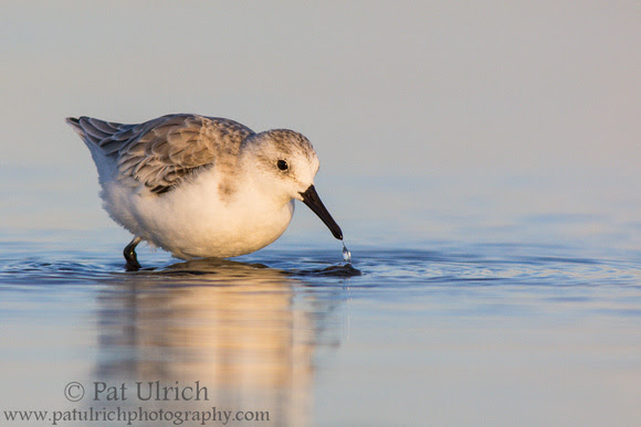 Sanderling feeding in the shallows with reflection and water droplet
