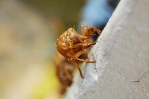 Cicada Shells