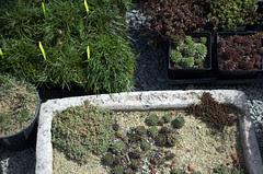 Trough Garden and Rock Garden Plants, Gowanus Nursery