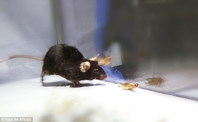 They're known for their timidity and love of cheese, but scientists have tapped into the 'killer instinct' of mice, to turn them into aggressive 'zombies'