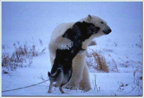 Polar Bear and Husky 3