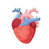 Corazón Humano Fotos E Ilustraciones De Stock Imágenes Libres De