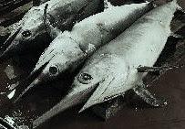 pez-espada1