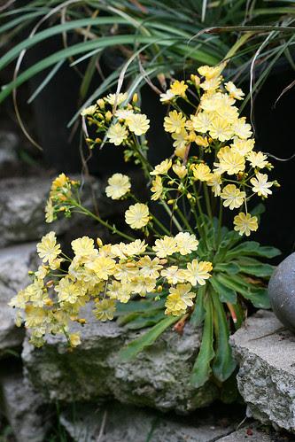 lewisia yellow