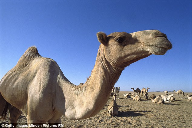 The family of a Saudi man whose wife was seen giving a camel a kiss have demanded he divorce his bride