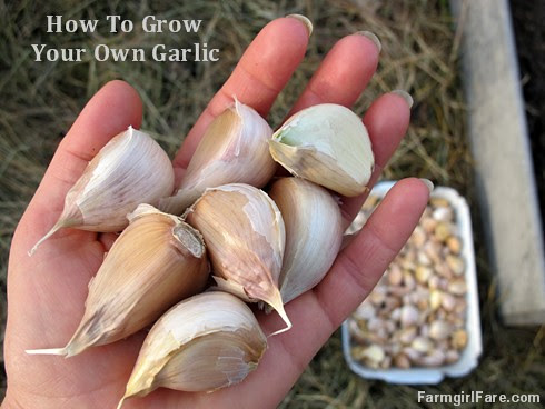 How to grow garlic (1) - save your biggest cloves for planting next year's crop - FarmgirlFare.com