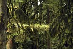 mossy giants