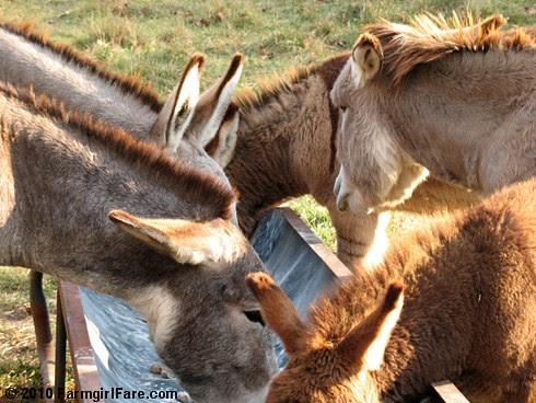 Donkey Ears 5