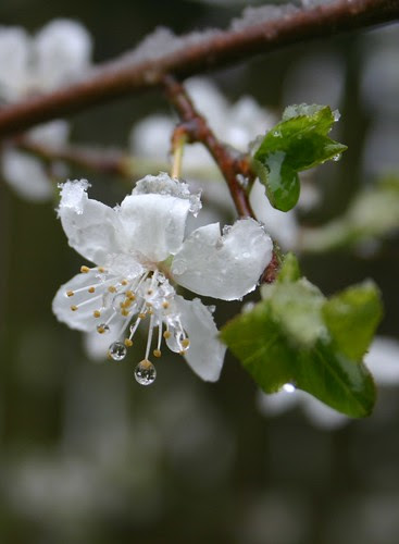 snow on blossoms 1