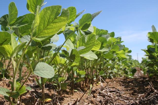 Cultivares de soja com arquitetura compacta de plantas tem proporcionado espaçamento reduzido - Crédito Miriam Lins