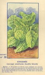 legume20 chicoree