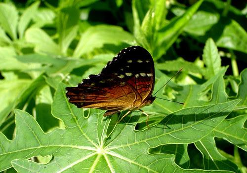 Butterfly - Mariposa by Laura Olejua - www.lauraolejua.com