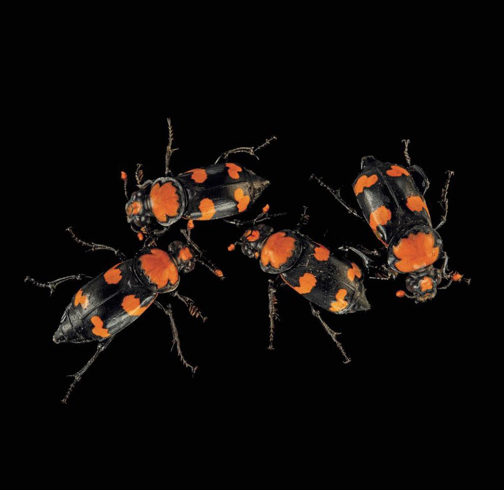 Жук-могильщик, Nicrophorus americanus (находящиеся на грани полного исчезновения, CR):