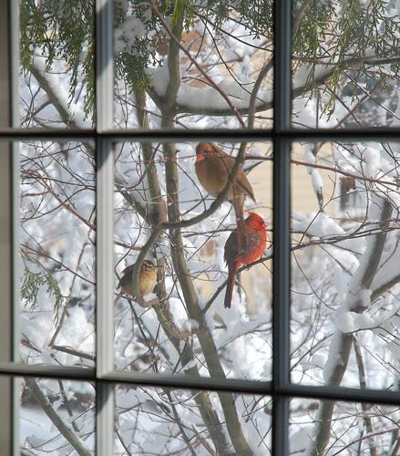 Male & Female Northern Cardinals, Carolina Wren, After Heavy Snow Storm, Reston, VA