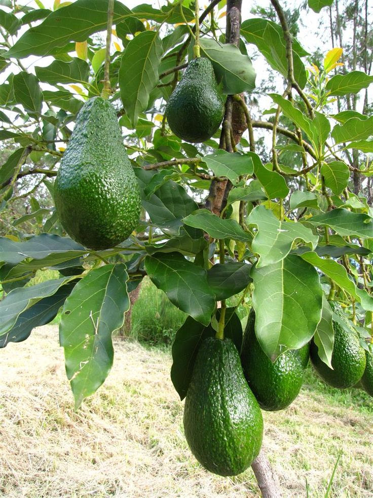Grow An Avocado Tree In The Desert New Life Landscaping