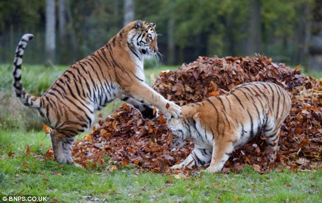 Amur tigers at Longleat got very excited over stunning autumn leaves at the Wiltshire Safari park this week