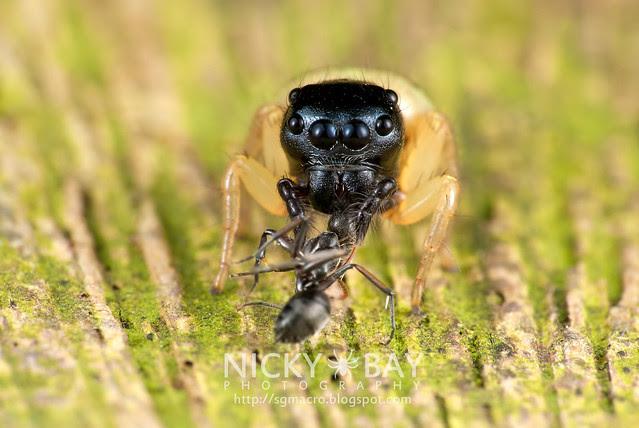 Jumping Spider (Pystira ephippigera) - DSC_9252