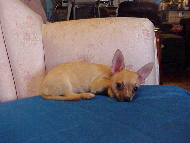 Long Hair Teacup Chihuahua Puppies for Sale in Yukon Canada