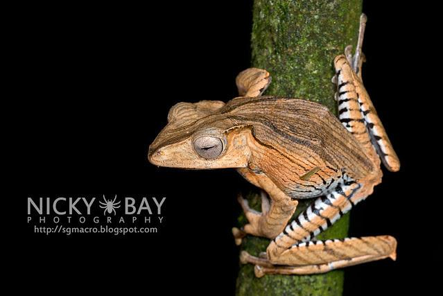 File-eared Tree Frog (Polypedates otilophus) - DSC_9030